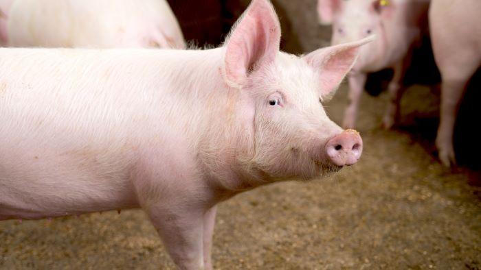 subsidieregeling varkenshouderij